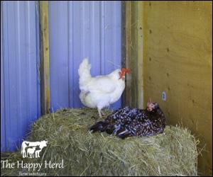 Happy Herd Farm Sanctuary Hens