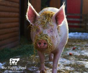 Lucy - Happy Herd Farm Sanctuary
