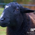Norman - Happy Herd Farm Sanctuary