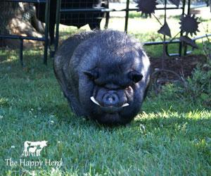 Percy - Happy Herd Farm Sanctuary