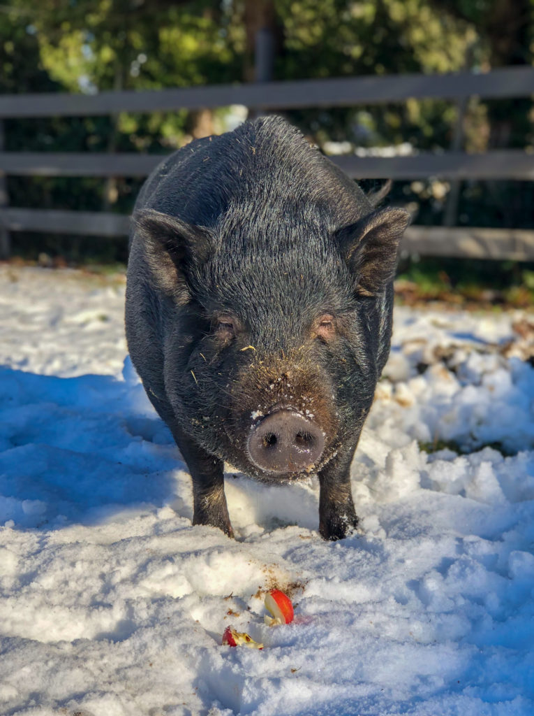Betty Big Nose pot belly pig at Happy Herd Farm Sanctuary