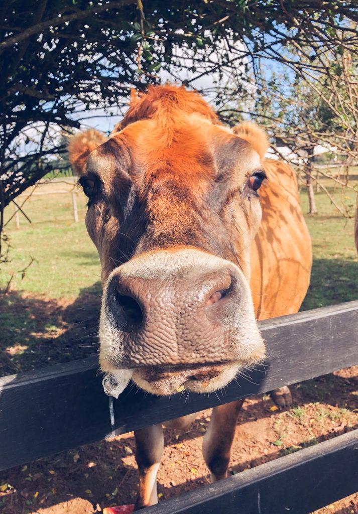 Desi the steer at Happy Herd Farm Sanctuary