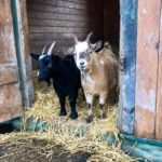 Meet to Goats at the Happy Herd