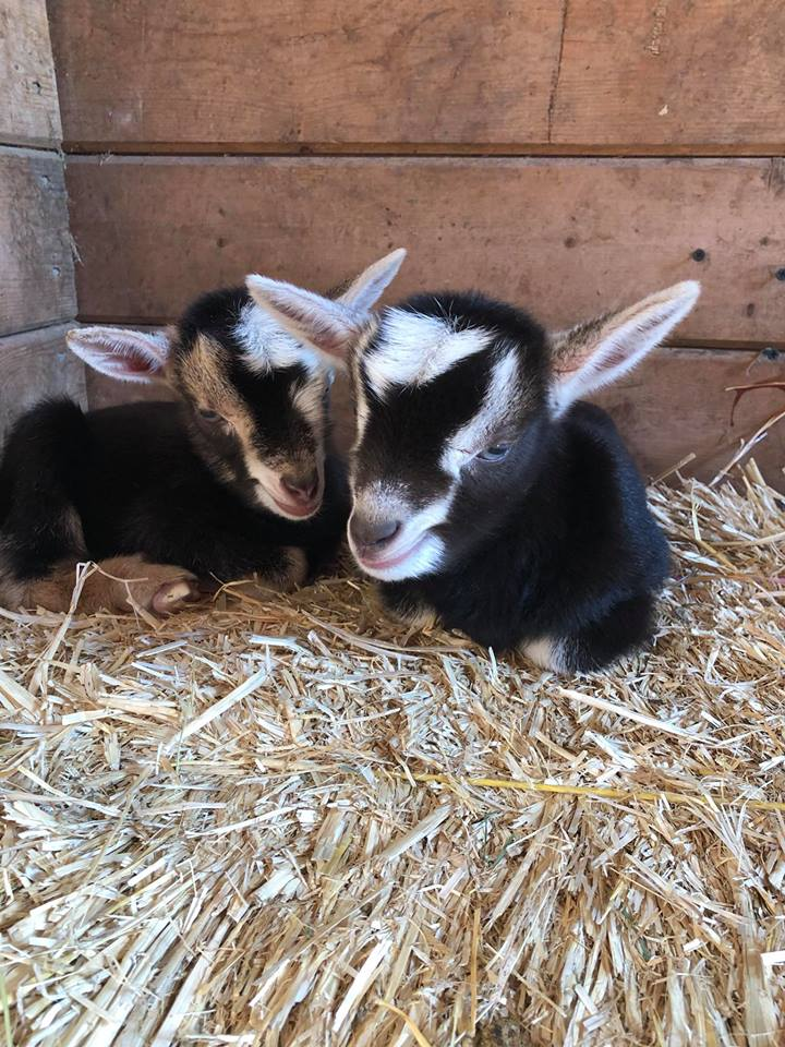 Baby Goats at The Happy Herd